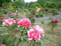 2018-05-13花と泉の公園-牡丹園199