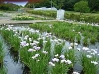 2018-06-16登米市南方花菖蒲の郷-しろぷーうさぎ146