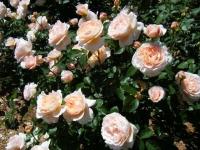 2018-06-09花巻薔薇園146