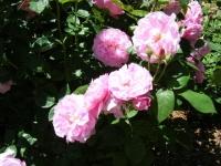 2018-06-09花巻薔薇園145