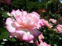 2018-06-09花巻薔薇園154