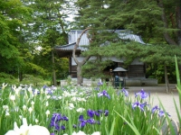 2018-06-30平泉-毛越寺アヤメ祭り-しろぷーうさぎ126