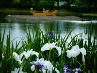 2018-06-30平泉-毛越寺アヤメ祭り-しろぷーうさぎ124