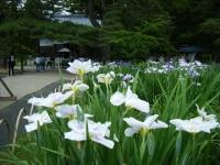 2018-06-30平泉-毛越寺アヤメ祭り-しろぷーうさぎ121