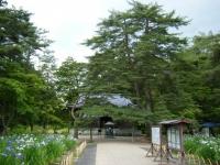 2018-06-30平泉-毛越寺アヤメ祭り-しろぷーうさぎ130