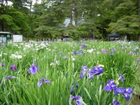 2018-06-30平泉-毛越寺アヤメ祭り-しろぷーうさぎ128