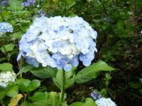 2018-07-08舞川紫陽花園ー重箱石118