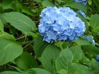 2018-07-08舞川紫陽花園ー重箱石117
