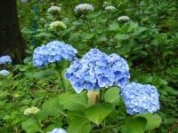 2018-07-08舞川紫陽花園ー重箱石116