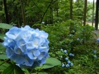 2018-07-08舞川紫陽花園ー重箱石115