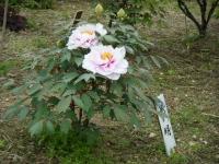 2018-05-13花と泉の公園-牡丹園207