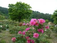 2018-05-13花と泉の公園-牡丹園206