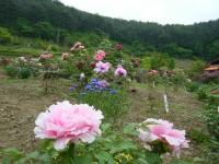 2018-05-13花と泉の公園-牡丹園216