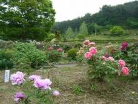 2018-05-13花と泉の公園-牡丹園215