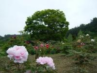 2018-05-13花と泉の公園-牡丹園213