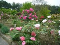 2018-05-13花と泉の公園-牡丹園212