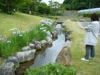 2018-06-16登米市南方花菖蒲の郷-しろぷーうさぎ161