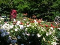 2018-06-09花巻薔薇園162