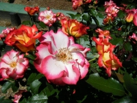 2018-06-09花巻薔薇園161