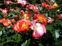 2018-06-09花巻薔薇園160