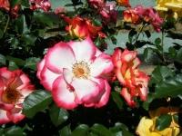 2018-06-09花巻薔薇園159