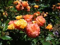2018-06-09花巻薔薇園167