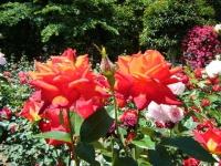 2018-06-09花巻薔薇園165
