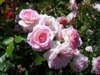 2018-06-09花巻薔薇園164