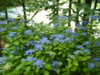 2018-07-08舞川紫陽花園ー重箱石126