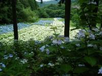 2018-07-08舞川紫陽花園ー重箱石125