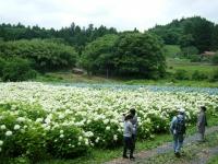 2018-07-08舞川紫陽花園ー重箱石123