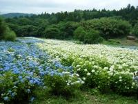 2018-07-08舞川紫陽花園ー重箱石122