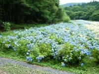 2018-07-08舞川紫陽花園ー重箱石121