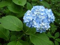 2018-07-08舞川紫陽花園ー重箱石128