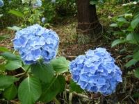 2018-07-08舞川紫陽花園ー重箱石127