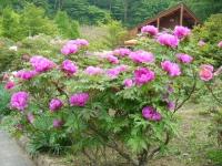 2018-05-13花と泉の公園-牡丹園222