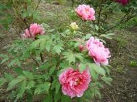 2018-05-13花と泉の公園-牡丹園221