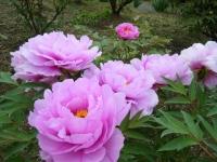 2018-05-13花と泉の公園-牡丹園220