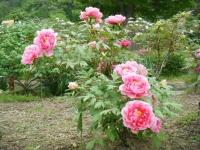 2018-05-13花と泉の公園-牡丹園219