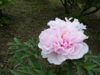 2018-05-13花と泉の公園-牡丹園218