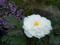 2018-05-13花と泉の公園-牡丹園217
