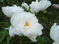 2018-05-13花と泉の公園-牡丹園227