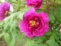 2018-05-13花と泉の公園-牡丹園226