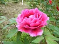 2018-05-13花と泉の公園-牡丹園225