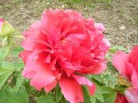 2018-05-13花と泉の公園-牡丹園224