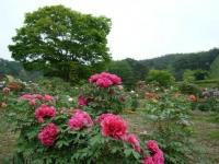 2018-05-13花と泉の公園-牡丹園223