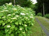 2018-06-16登米市南方花菖蒲の郷-しろぷーうさぎ175