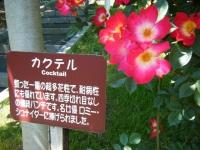 2018-06-09花巻薔薇園174
