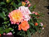 2018-06-09花巻薔薇園172