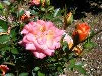 2018-06-09花巻薔薇園171